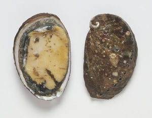 Overhead view of Abalone, top view and showing meat inside