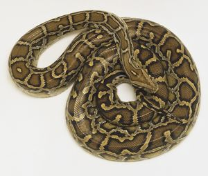 Overhead view of a coiled Burmese Python, Python molurus, showing the rich skin colours