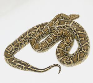 Overhead view of a coiled Burmese Python showing the rich skin colours and distinctive