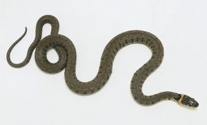 Overhead view of a Grass Snake, identifiable by the distinctive orange collar