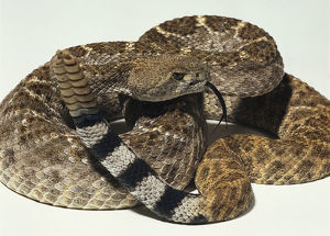 Overhead view of a partially coiled Western Diamondback Rattlesnake with the rattle raised