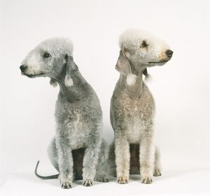 Pair of liver and blue Bedlington Terrier with trimmed coats