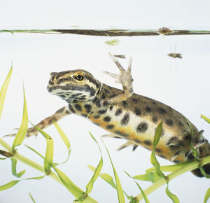 Palmate Newt (Lissotriton helveticus) in water