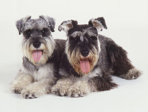Two panting black and white miniature Schnauzers with bushy beards lie side by side