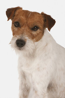 Parson Russell Terrier, looking at camera