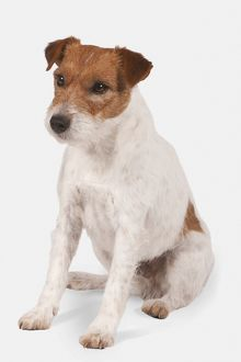 Parson Russell Terrier, seated