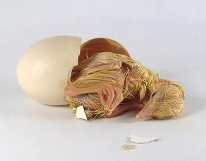 Peacock Hen (Pavo cristatus) hatched from egg