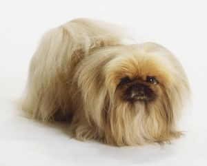 Pekingese Dog (Canis familiaris) standing, high angle front view