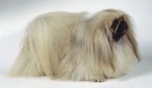 A Pekingese dog with a dark-colored face and long whitish-brown hair cascading to its feet