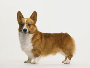 Side of Pembroke Welsh Corgi dog standing.