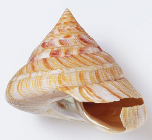 Perotrochus hirasei, side view of Hirase's Slit Shell, with high spire and sharply angled base