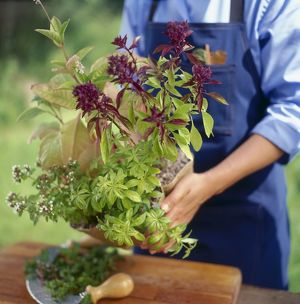 Person holding pot of herbs, Eastern Basil and Sweet Wood ruff