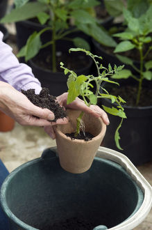 Person potting up tomato plant