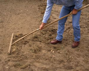 Person raking perennial weeds in field