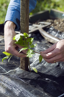 Person tying tomato plant seedling to wooden support above mulch sheet