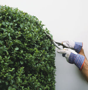 Person wearing gardening gloves and using shears to trim a privet hedge