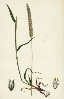 Phleum BAshmeri, Purple-stalked Timothy-grass