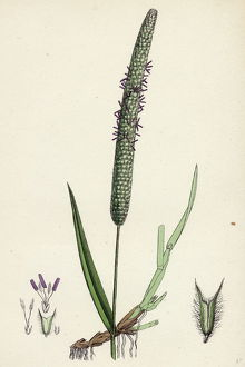 Phleum pratense, var. genuinum, Common Timothy-grass, var. a.