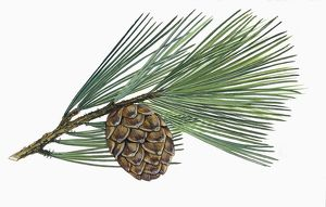 Pinaceae, Leaves and cones of Swiss pine Pinus Cembra, illustration