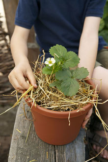 Placing straw under strawberry plant