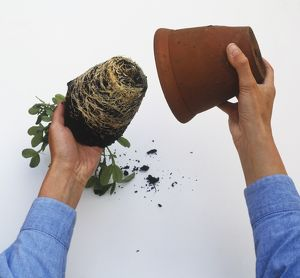 Plant showing a dense system of roots being taken out of pot