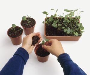 Planting campanula seedlings into individual plant pots from compost seed tray