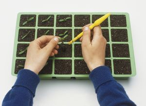 Planting seedlings in plant tray using a small dibber