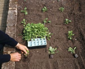 Planting out turnip seedlings in their plugs, close-up