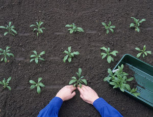 Planting out wallflower seedlings in nursery bed, in evenly spaced rows, close-up