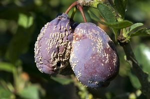 Plums damaged by brown rot