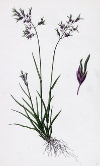Poa stricta, Straight-stemmed Meadow-grass