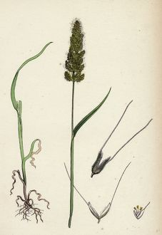Polypogon Monspeliensis, Annual Beard-grass