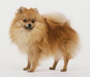 Pomeranian dog (Canis familiaris) standing, head turned towards camera, side view.