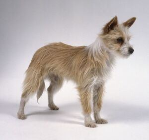 Portuguese Podengo dog, standing, side view