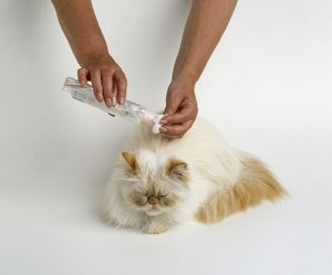 Pouring baby oil onto cotton wool above head of cream colourpoint Persian cat