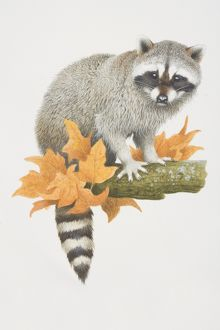 Procyon lotor, Raccoon perched on tree branch.