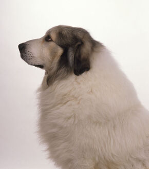 Profile headshot of a Pyrenean Mountain Dog