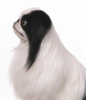 Profile of Japanese Chin Dog