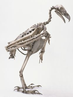 Profile of skeleton of Wedge-tailed Eagle