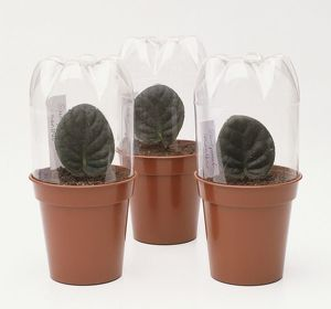 Propagating Saintpaulia leaf cuttings in three small plant pots covered by plastic