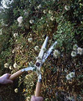 Pruning Clematis tangutia with shears, plant showing autumn seedheads, close-up