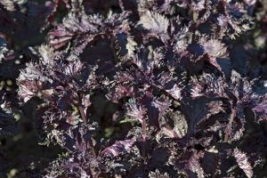 Purple leaves from Perilla 'Shiso Red', full frame