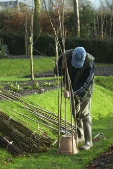 Pushing hazel rods into the grass around a pot to create a willow wigwam