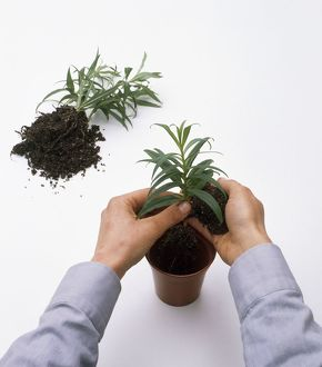 Putting pot rooted cutting into plant pot