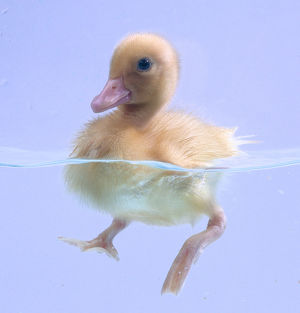 Three quarter view of a duckling paddling in the water.