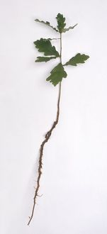 Quercus (Oak) seedling showing small green leaves and long root