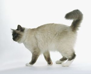 Ragdoll Cat, side view