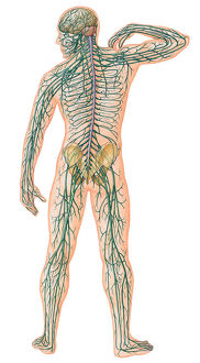 Rear view of Male Body with Major Nerves Superimposed.