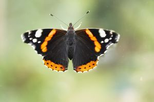 Red admiral butterfly (Vanessa atalanta) perching on window