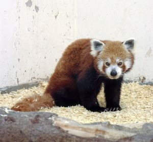 Red panda (Ailurus fulgens), looking at camera